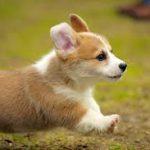 犬の涙やけと目ヤニの原因は?手入れと対策改善方法はこれ!