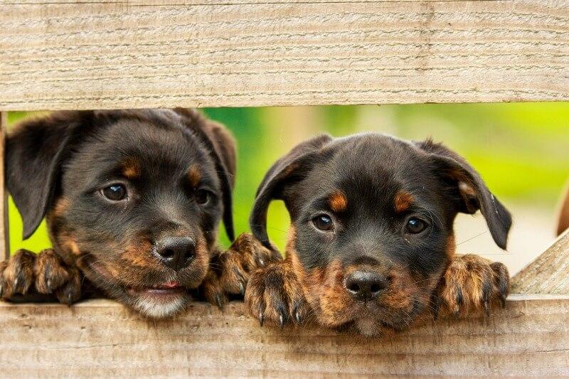 吠え ない 小型 犬
